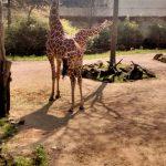 Zoo Duisburg Giraffen
